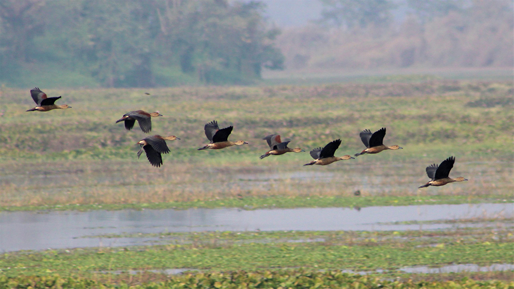 The Migrating Waterfowl
