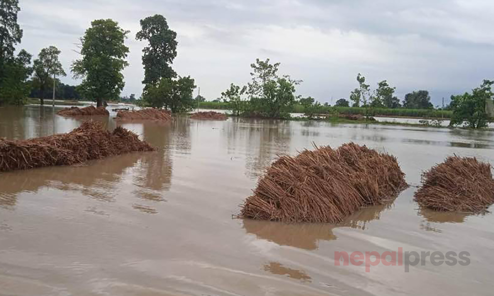 Unseasonal rains damage paddy crops planted in 200,000 hectares of land